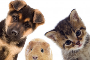 Soirée cycle jeune: Les souffles cardiaques du jeune animal